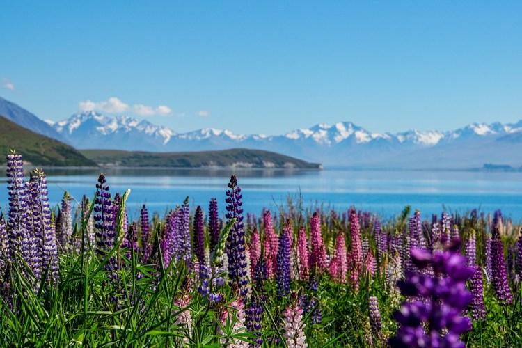 Things NOT to Miss on New Zealand's South Island - Lake Tekapo