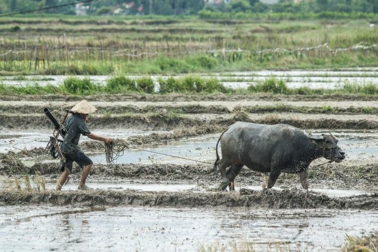 buffalo in vietnam rice fields