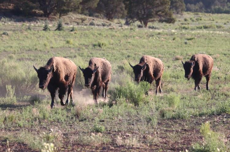 Buffalo at Zion Mountain Ranch