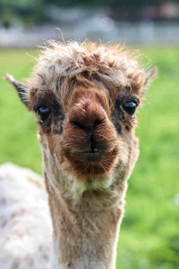 Reasons to Stay at Los Poblanos Inn, Albuquerque, NM - Alpacas