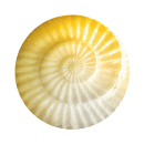 yellow-shell