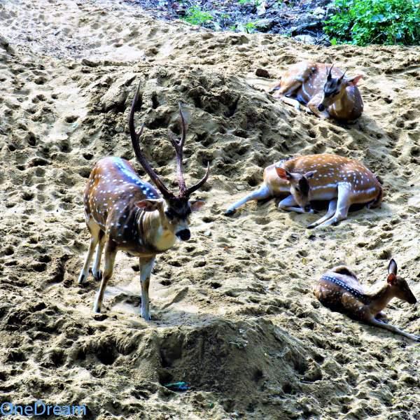 sri-lanka-trincomalee-deer