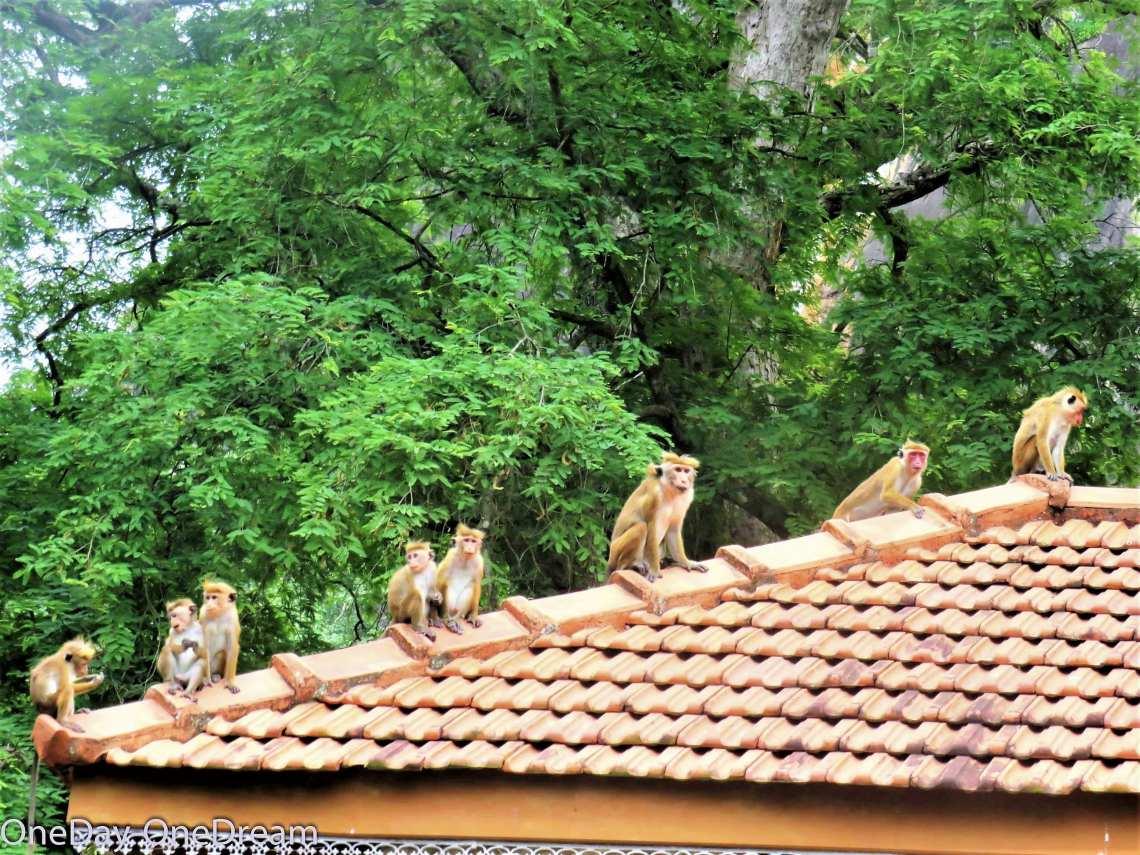 tangalle-monkeys