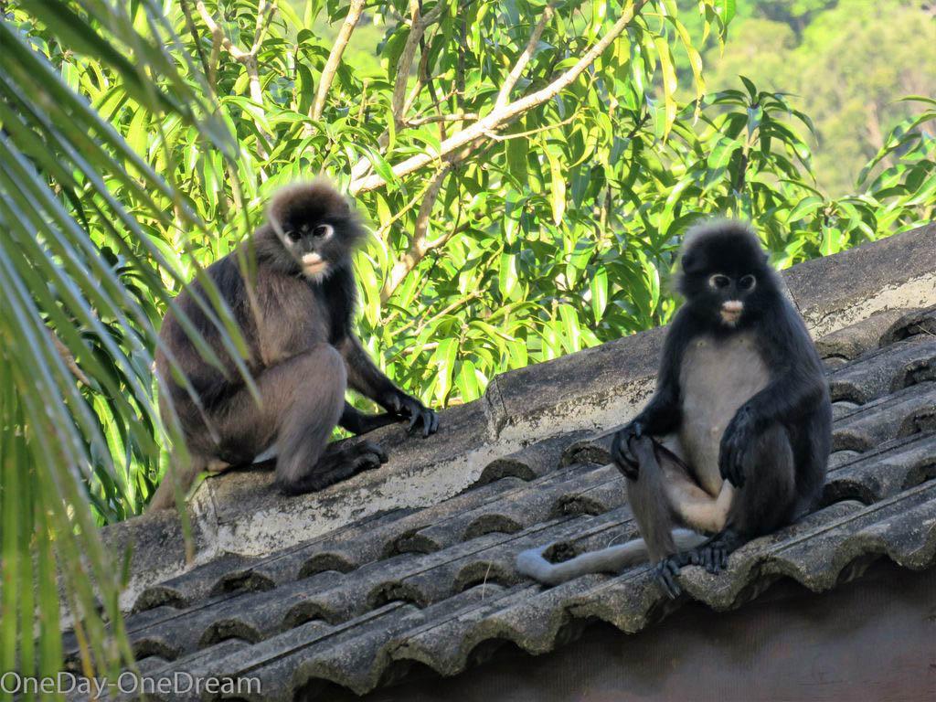 monkey-perenthians