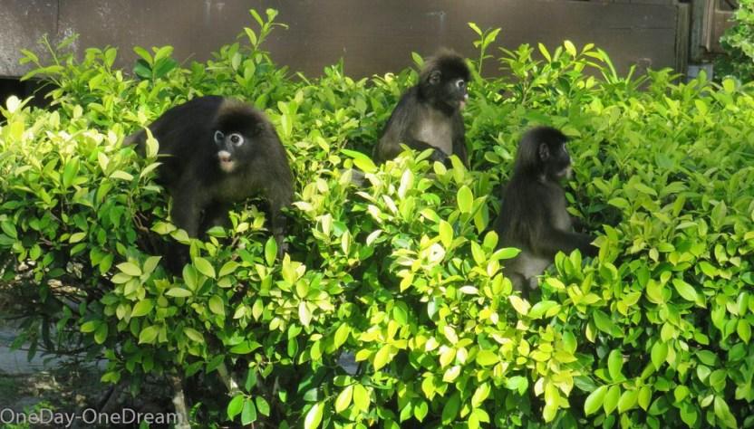 singe-malaisie