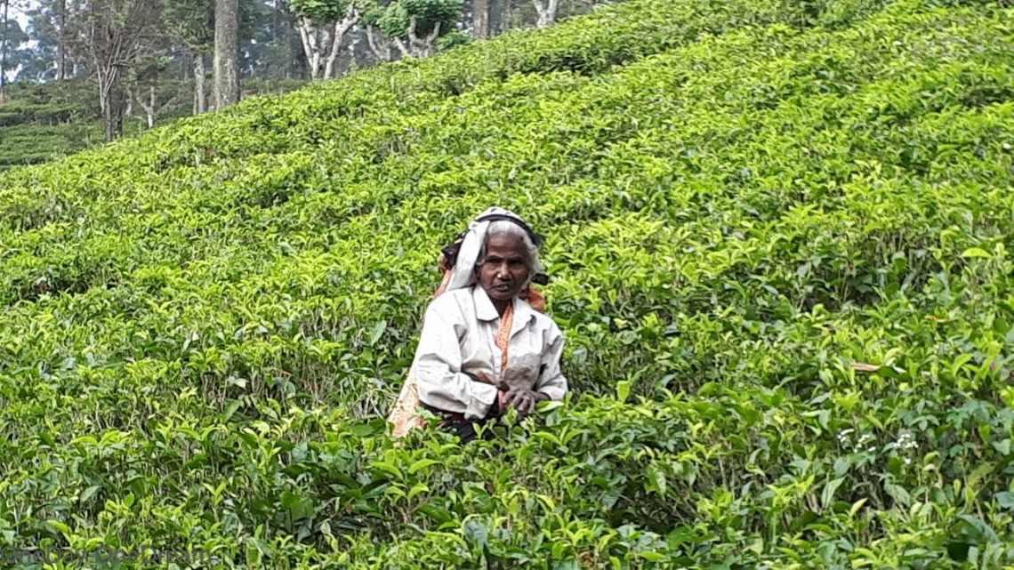 cueilleuse de thé au Sri Lanka