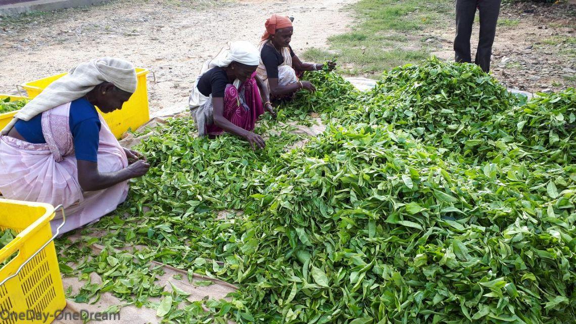 cueilleuses de thé au Sri Lanka