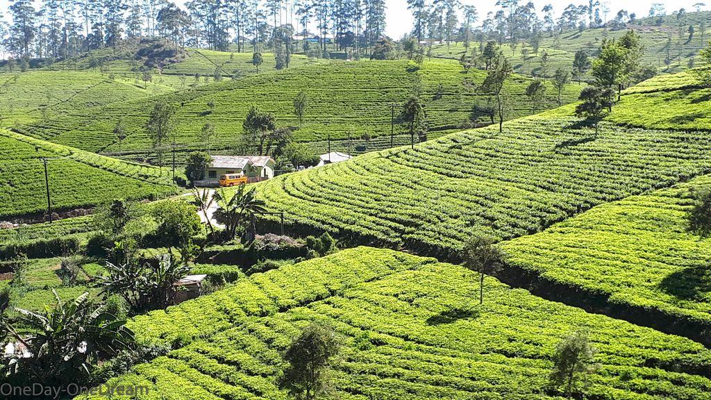 haputale-tea-plantations
