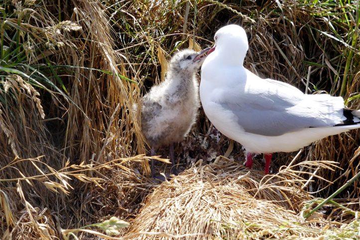 Albatross, Dunedin