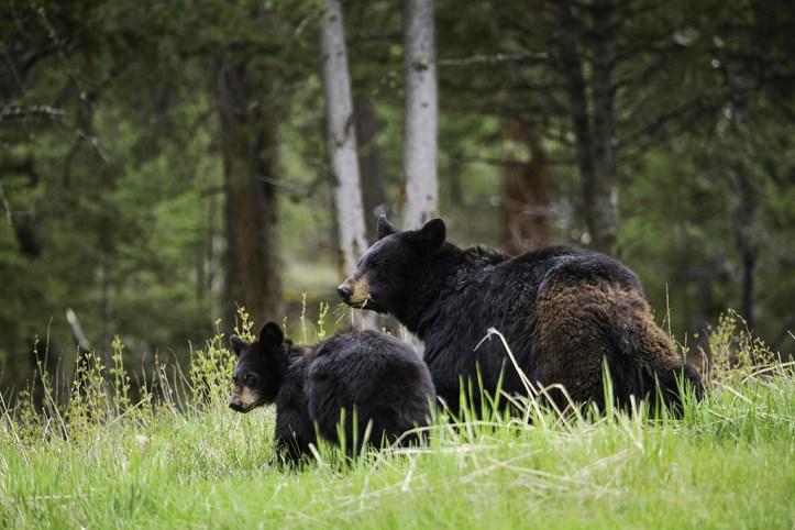 Black Bears, Yellowstone National Park