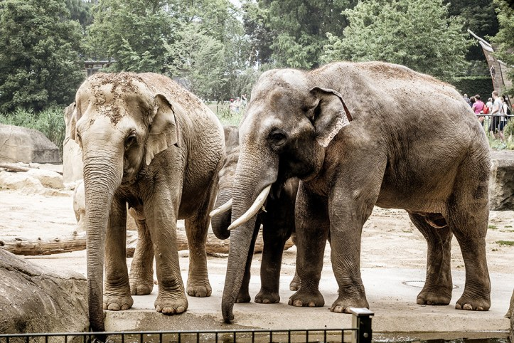 Elephants at the Cologne Zoo