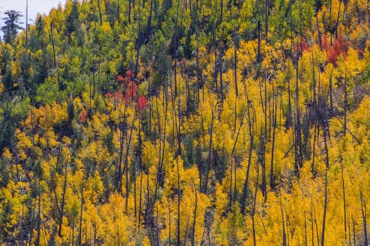 Pine Forest, Flagstaff