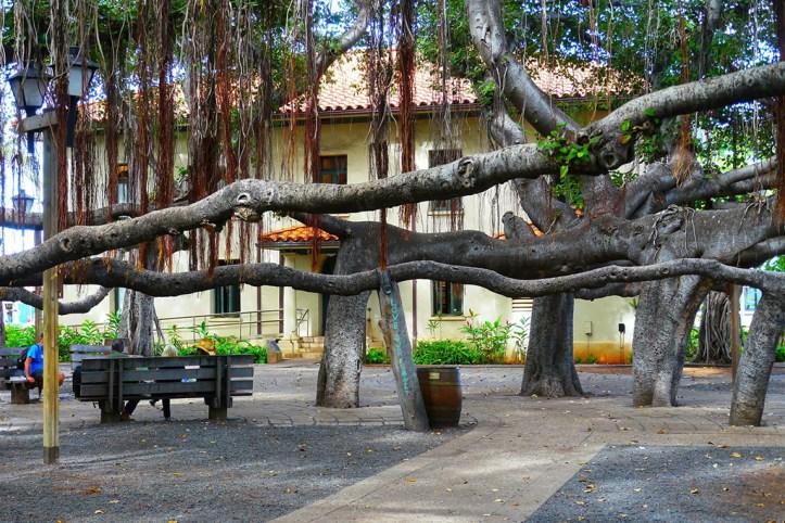 Banyan tree, Lahaina