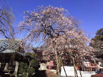 宏禅寺の枝垂れ梅