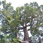 森戸神社の飛柏槇(びびゃくしん)