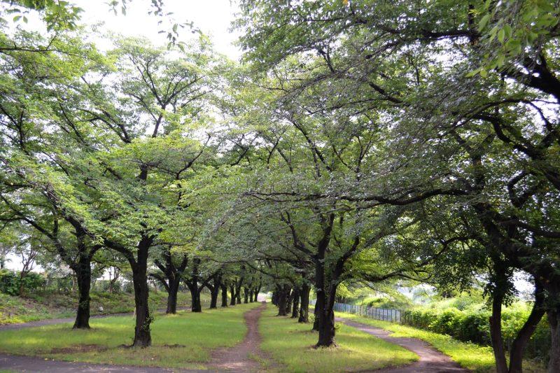 柳瀬川土手の桜並木