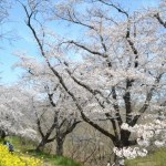 桜土手のサクラ