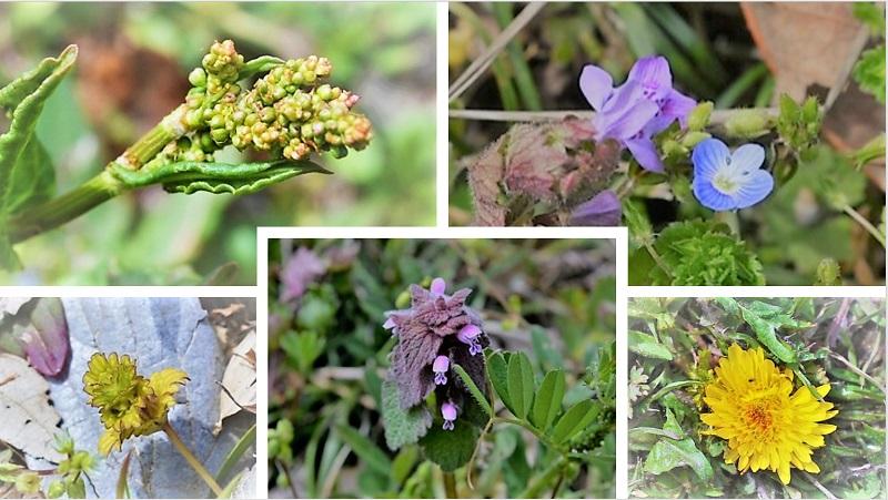 保全地に咲く春の野草