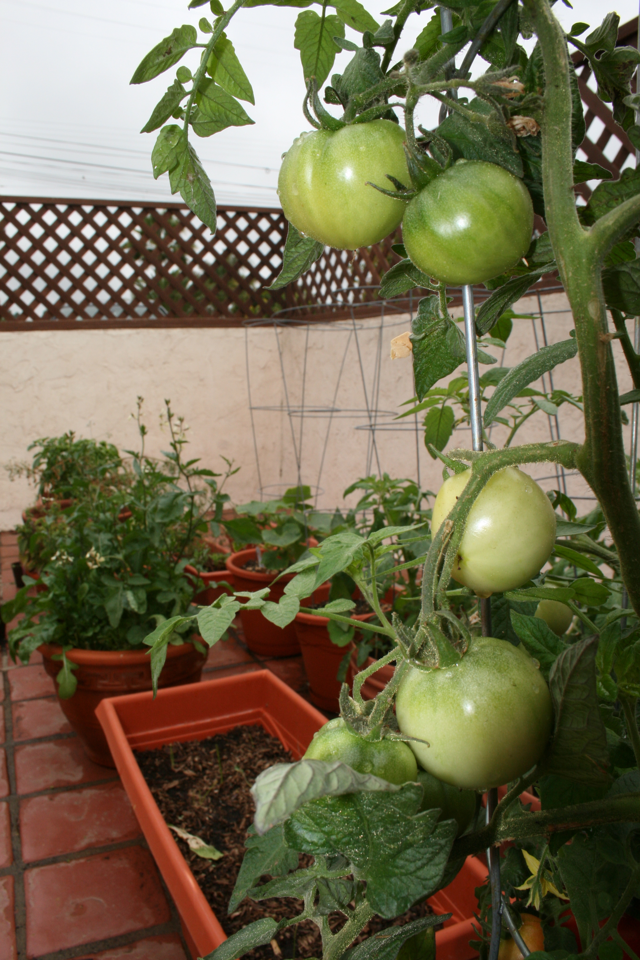 There are 25 tomatoes on this plant. She counted; twice. Other plants include basil, arugula, bell peppers, beans, onions, cucumbers, lettuce, bok choy, chives, kale, chard, and cherry tomatoes.