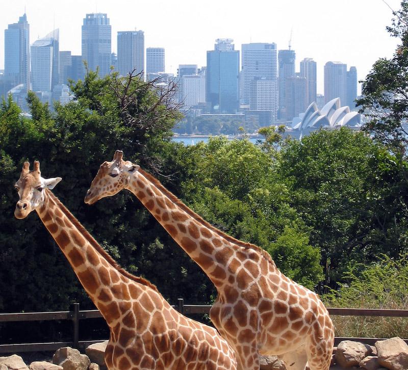 Sydney_taronga_zoo_giraffes