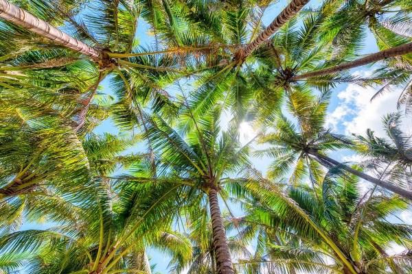 Palms Trees Starburst Philippines Fine Prints Wall Art