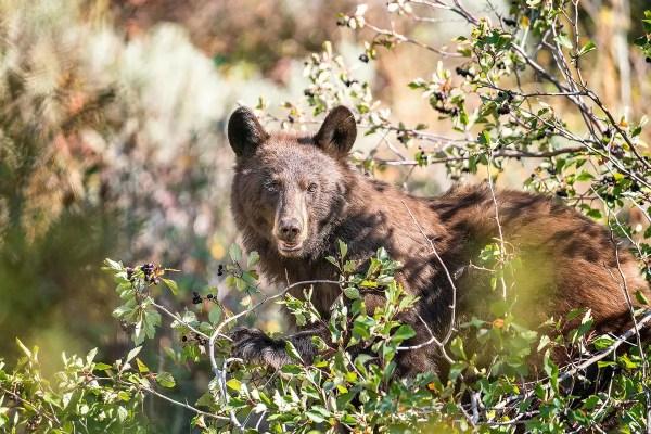 Bear Grand Teton National Park Wyoming