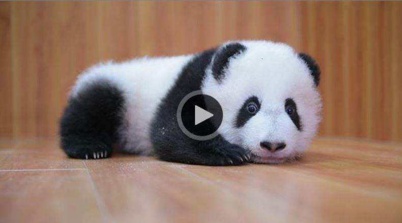 Panda cubs…I dare you watch and not smile