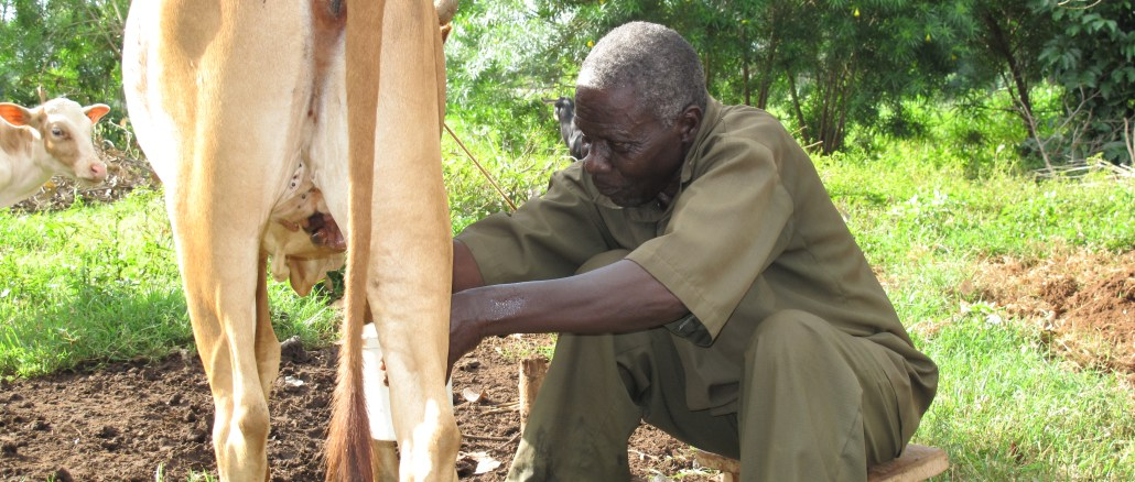 Man miking cow in Busia, Kenya