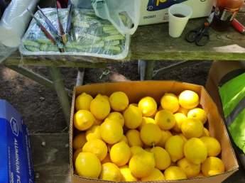 싱싱한 레몬과