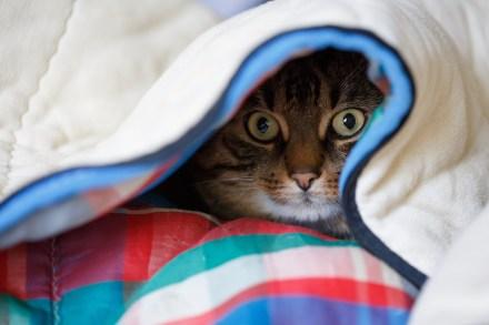cat scared under blanket