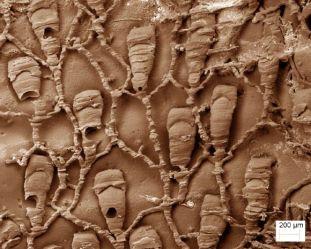 Protulophila