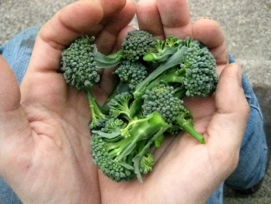 harvesting broccoli