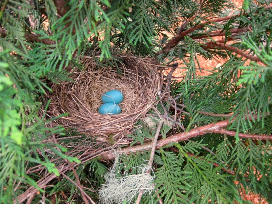 picture of a Robin's nest