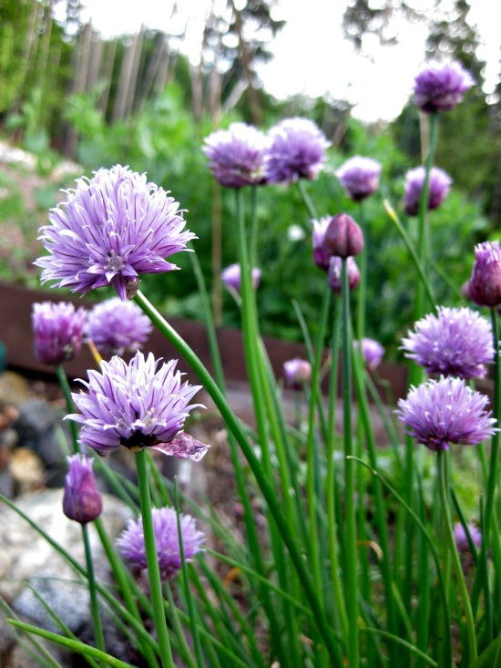 how to grow chives