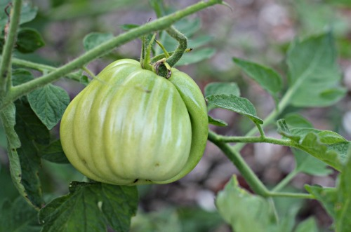 Mavis Garden Blog - 5 Tips for Ripening Tomatoes on the Vine
