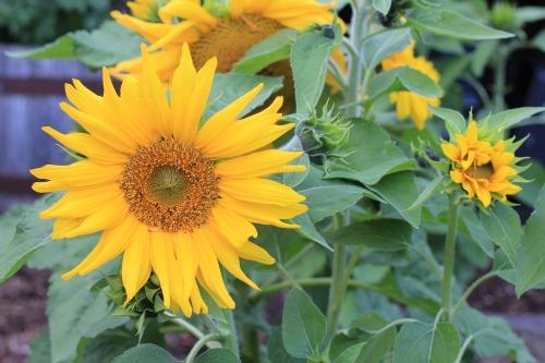 irish eyes sunflowers