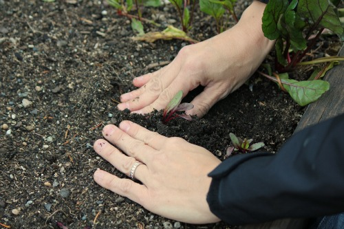 gardening mavis how to plant beets