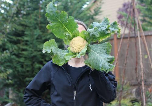 cauliflower grown in fall