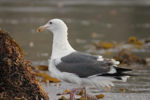 seabirds albatross salt creek beach california