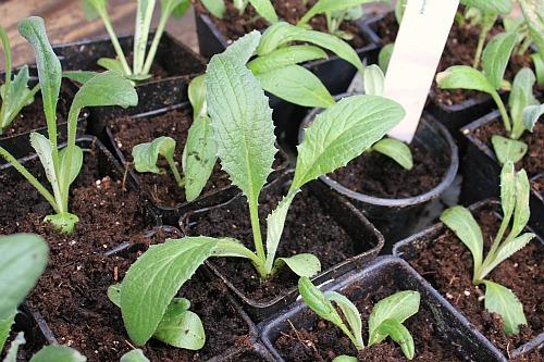 artichoke seedling picture