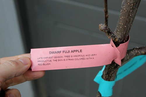 dwarf fuji apple tree