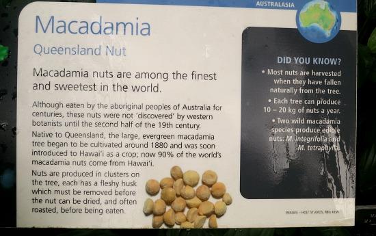 how to macadamia nuts grow
