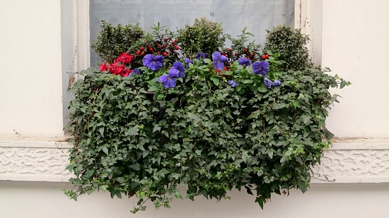 window box with ivy and pansies