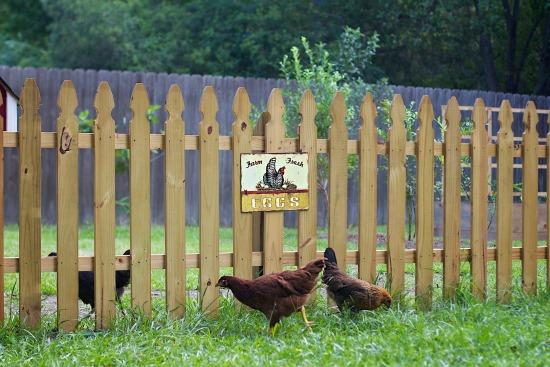 Hens in Yard
