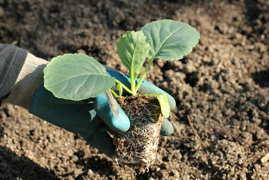 cabbage seedlings