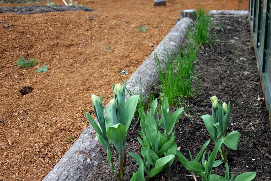 chives tulips