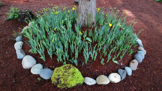 daffodils planted in a natural setting
