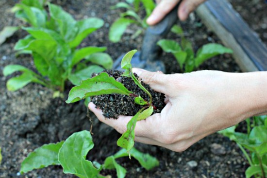 how-to-transplant-seedlings-swiss-chard