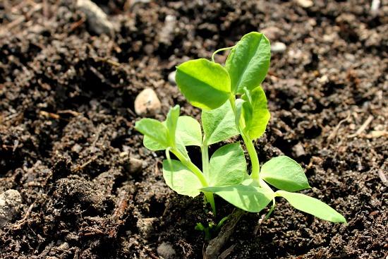 pea seedling