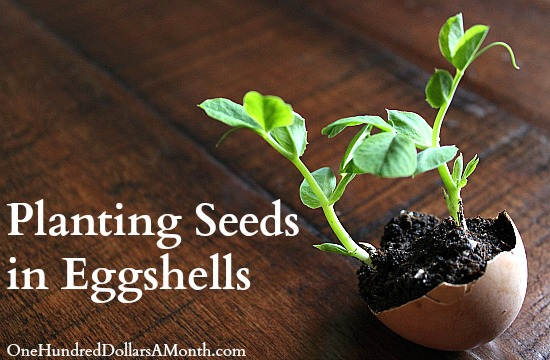 planting seeds with eggshells